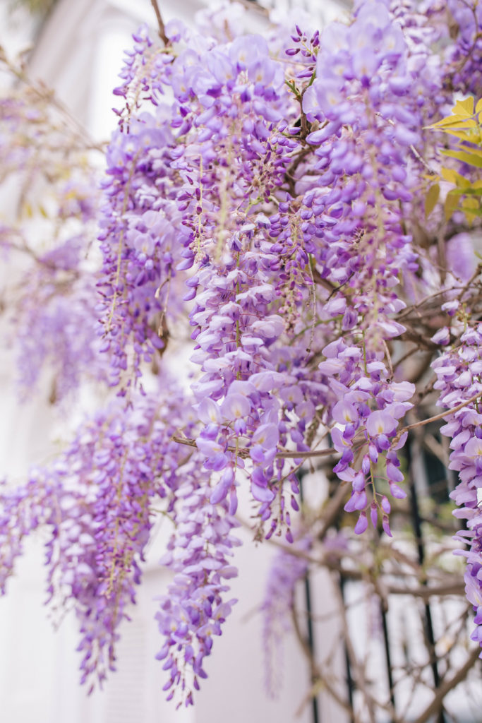 Wisteria season in Charleston | Rhyme & Reason