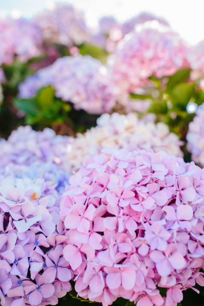 Hydrangeas in bloom + Weekend Reads, No. 135 | Rhyme & Reason