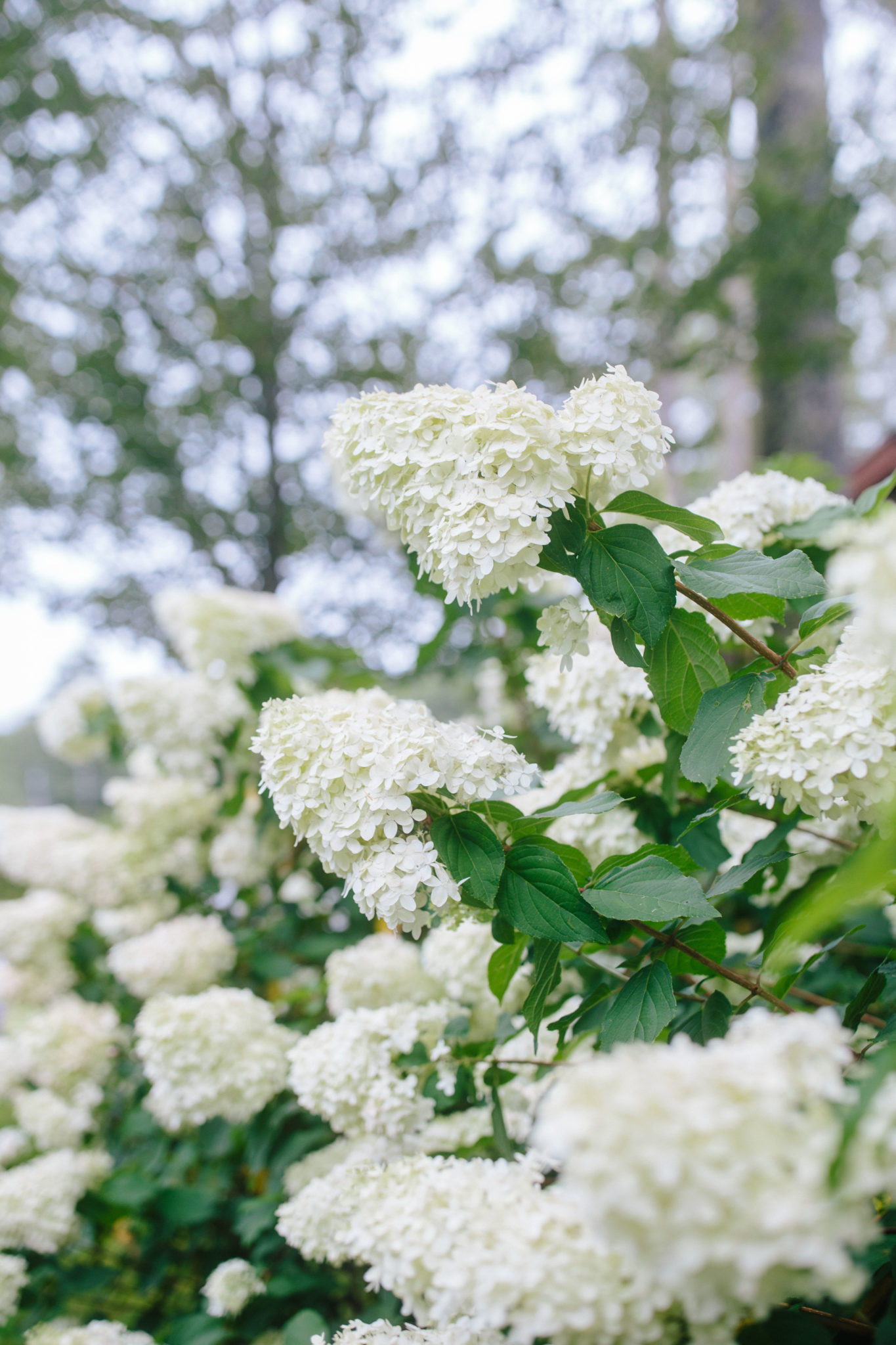 Blooming hydrangeas in the North Carolina mountains + Weekend Reads, No. 142 | Rhyme & Reason